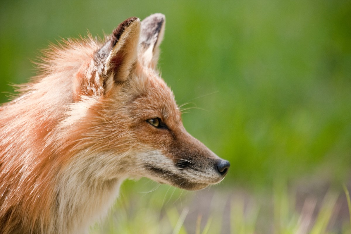 Close up photo of a red fox's head in profile with an artistically blurred green background.