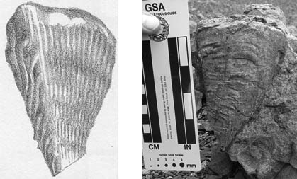 composite of a sketch of a bivalve and a person holding a ruler next to the same bivalve fossil in the side of a rock