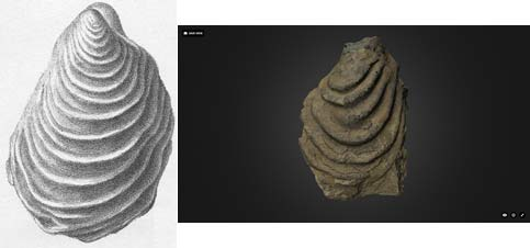 composite of a sketch and photo of a bivalve fossil