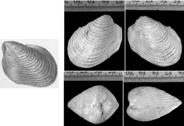 composite of four photos of a bivalve from different angles and a sketch of it