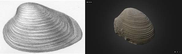 composite of a sketch and photo of a bivalve