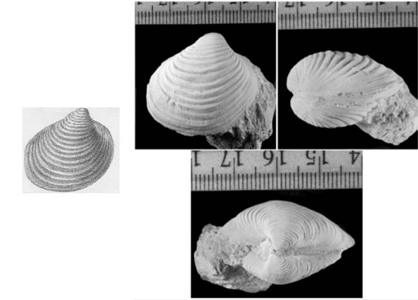 sketch of a bivalve fossil and composite of a photo of a bivalve from three angles