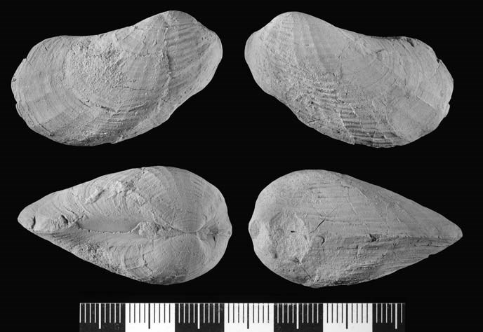 four shell-like fossils