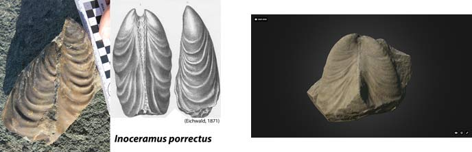 composite of three images, two photos of a bivale fossil and a sketch of a bivale fossil