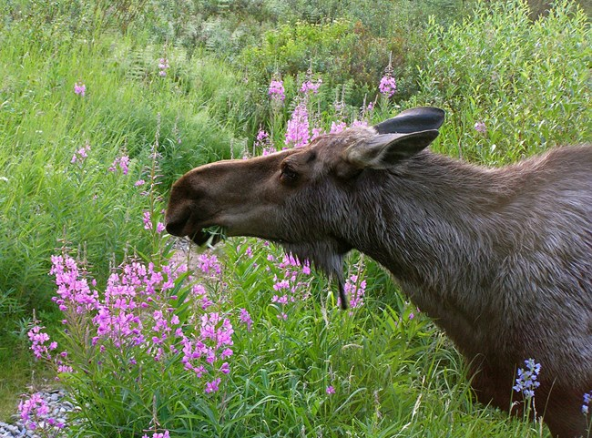 A bull moose feeds on vegetation amid pink fireweed flowers