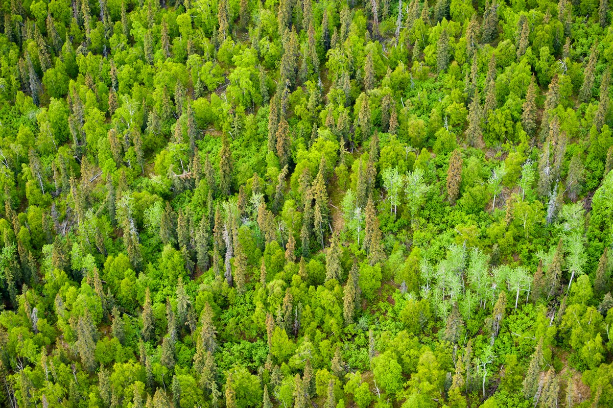 An aerial view of an evergreen forest