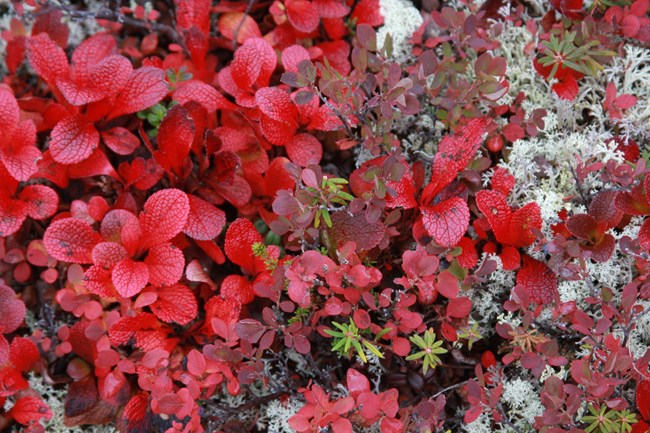 A close up view of red tundra plants in autumn