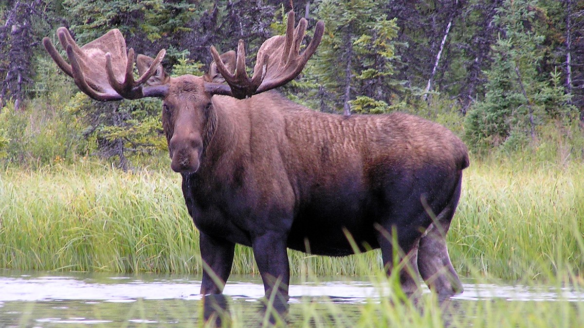 Photo of a bull moose with large antlers standing knee deep in water.