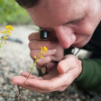 A researcher looks closely at a yellow flower with a magnifying glass.