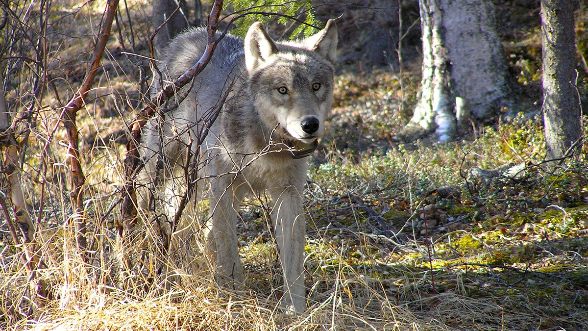 One light gray wolf wearing a GPS collar walks through a sun dappled forest clearing.