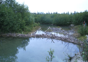 a pond surrounded by trees, with a beaver dam across it