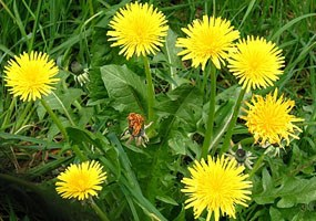 seven yellow flowers - some type of dandelion
