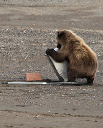 Brown bear attempts to open a bear resistant canister