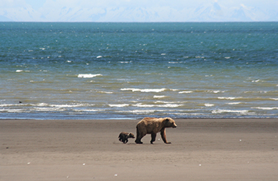 Brown bear sow with tiny cub of the year walking down a sandy beach with ocean in the background and snowy mountains in the extreme distance.