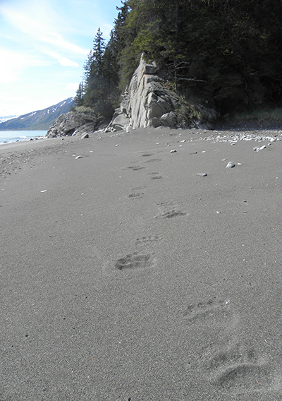 Photo of a sandy beach with large bear prints in the foreground leading the viewers eye down the beach towards a rocky bluff.