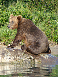 Brown bear eats a salmon on the shore of Crescent Lake