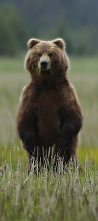 A brown bear stands in green sedges and looks at the photographer.