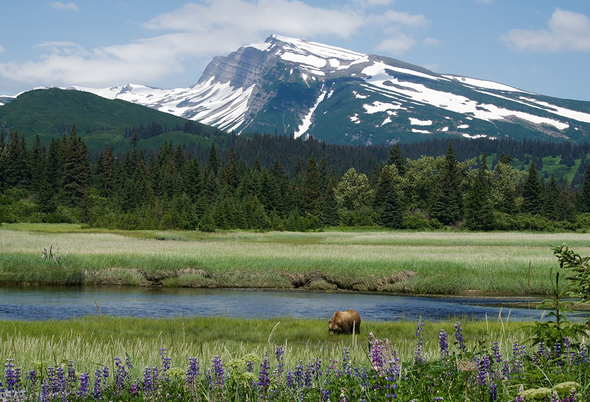 photo of a brown bear grazing in sedges near a stream with purple lupine blooming in the foreground and a forested mountain in the distance.