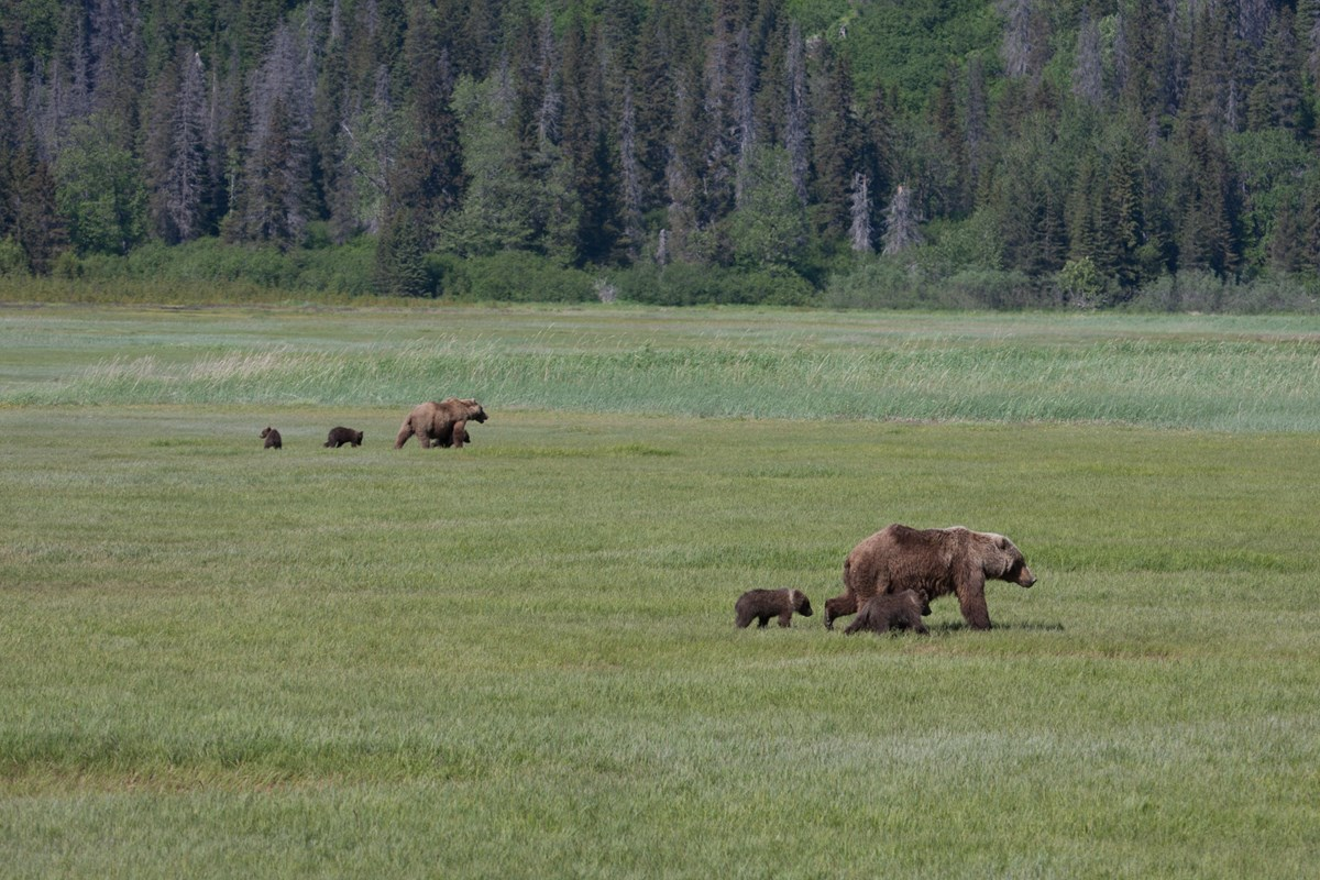 two family groups of bears walk through the meadow at Chinitna Bay