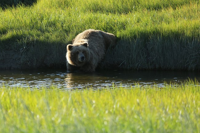 a bear walks into a river from a grassy bank