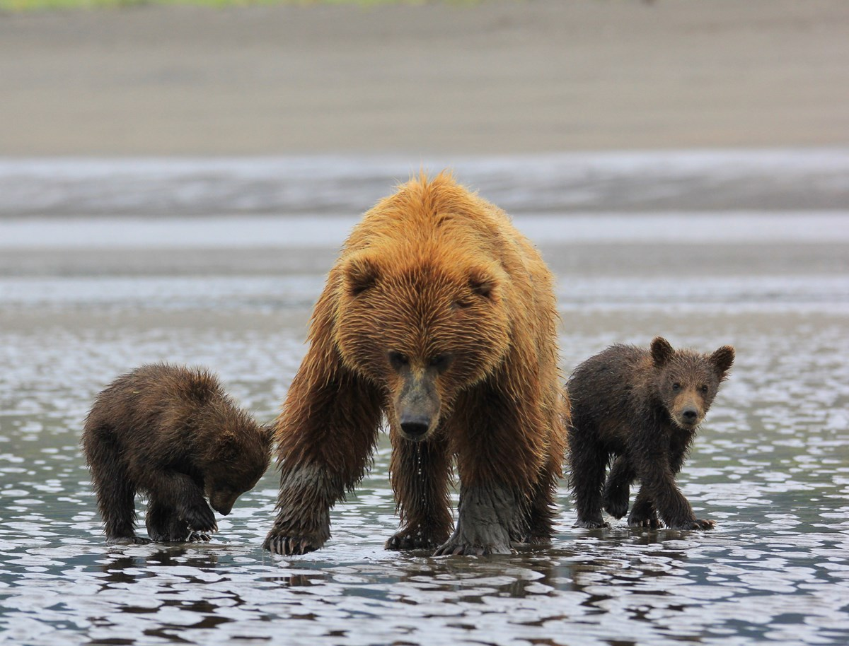 a brown bear sow and two spring cubs looking at the camera