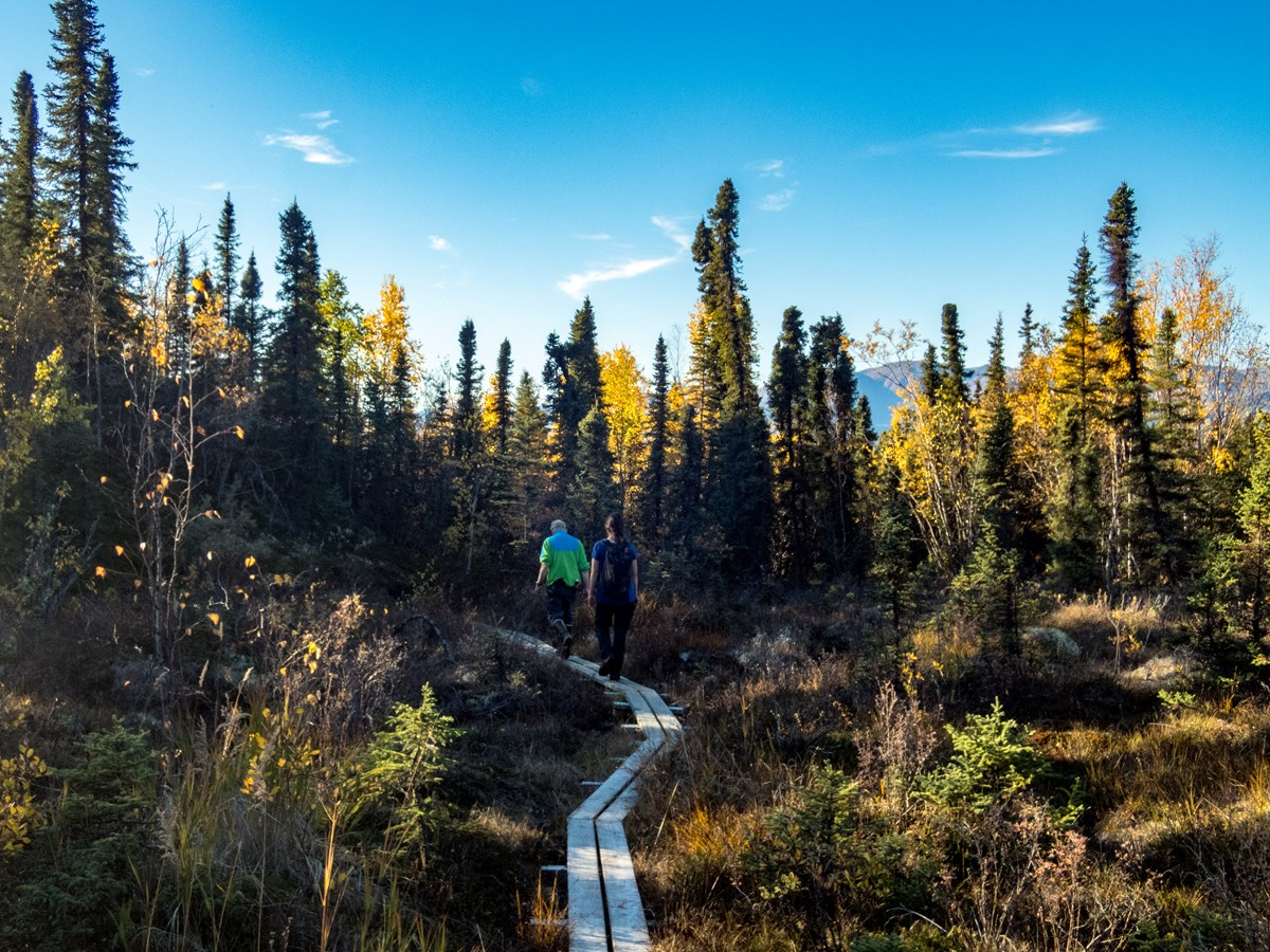 yellow birch trees surround a narrow boardwalk with two hikers on it