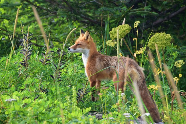 a red fox stands among green vegetation