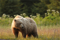 Photo of a brown bear standing in a meadow.