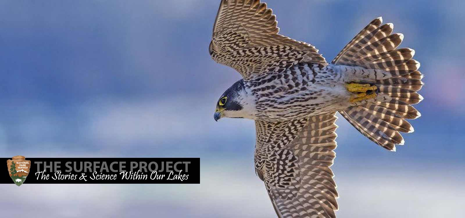 A peregrine falcon flying in the sky