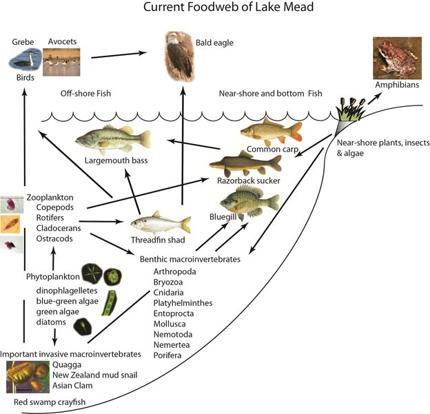 Think, asian carp food web