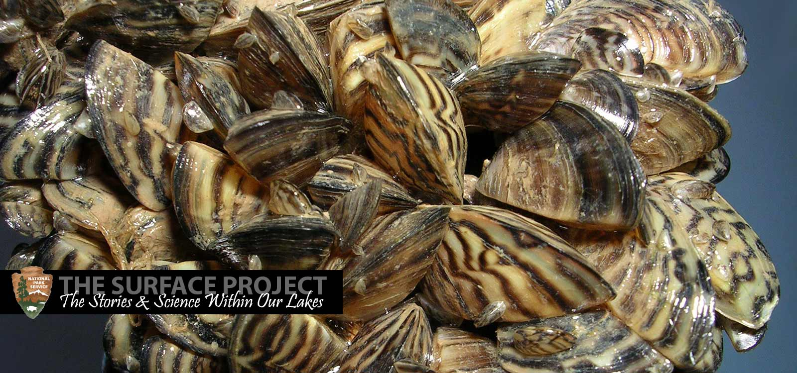 The invasion of the quagga mussels