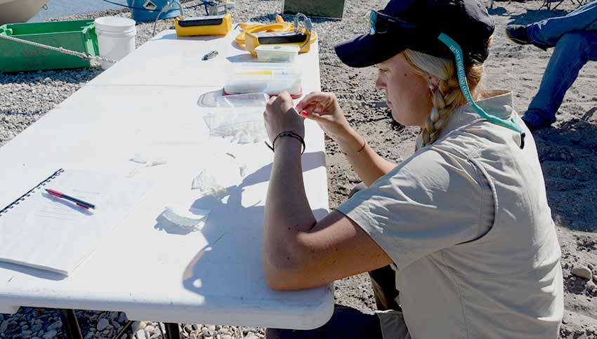 An NPS researcher taking fin samples for genetic testing
