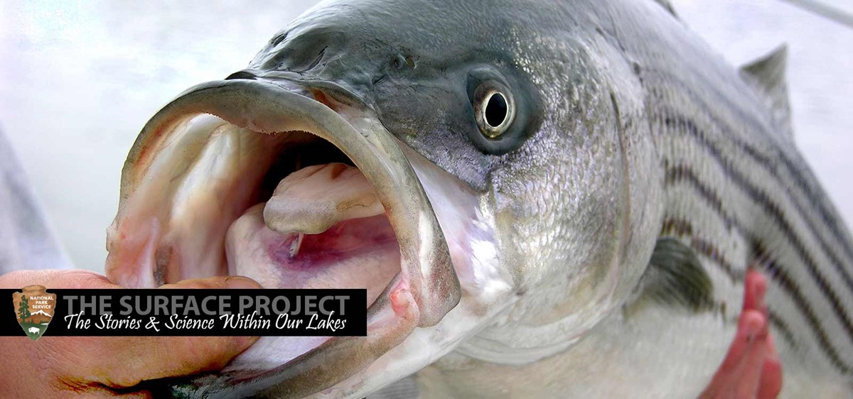 A Striped Bass held with it's mouth open