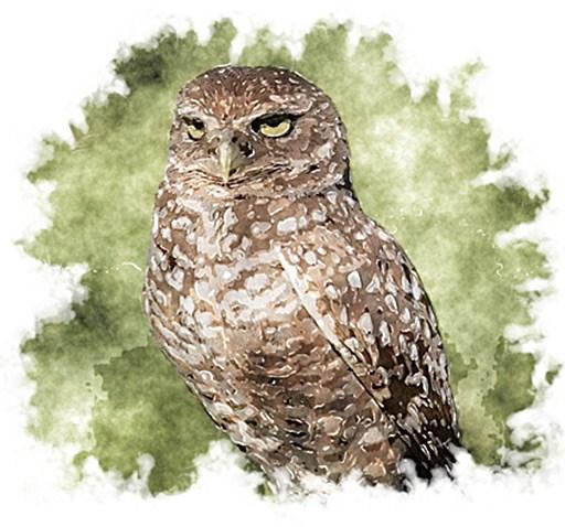 Burrowing Owl - Lake Mead National Recreation Area (U S  National