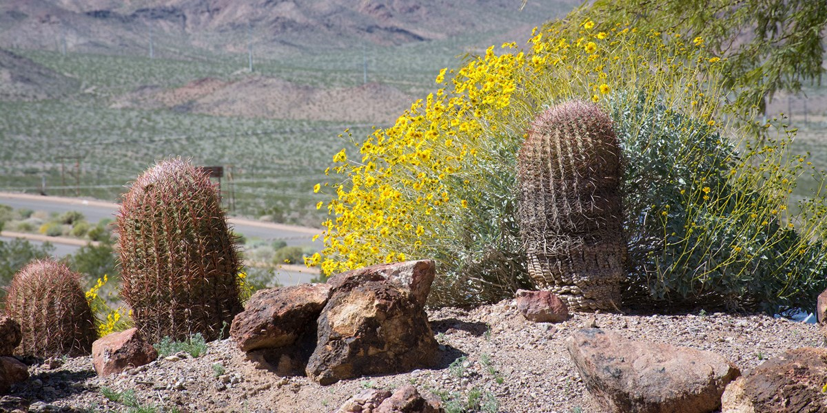 Yellow wildflowers and cacti overlooking a road in the distance