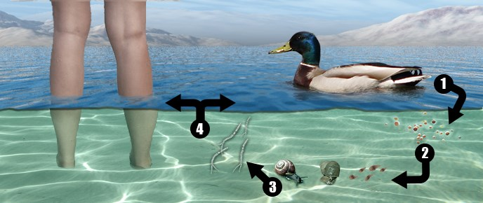 Swimmers Itch Graphic
