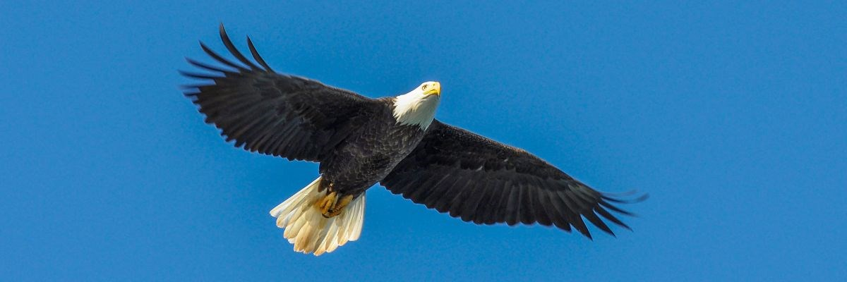 American bald eagle flying through the sky
