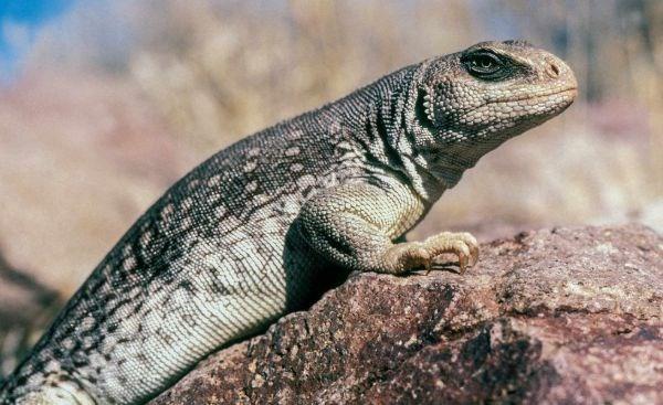Reptiles - Lake Mead National Recreation Area (U S  National