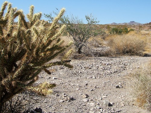 A Cholla in the Nellis Wash Wilderness