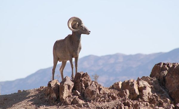 Desert Bighorn Sheep on rocks