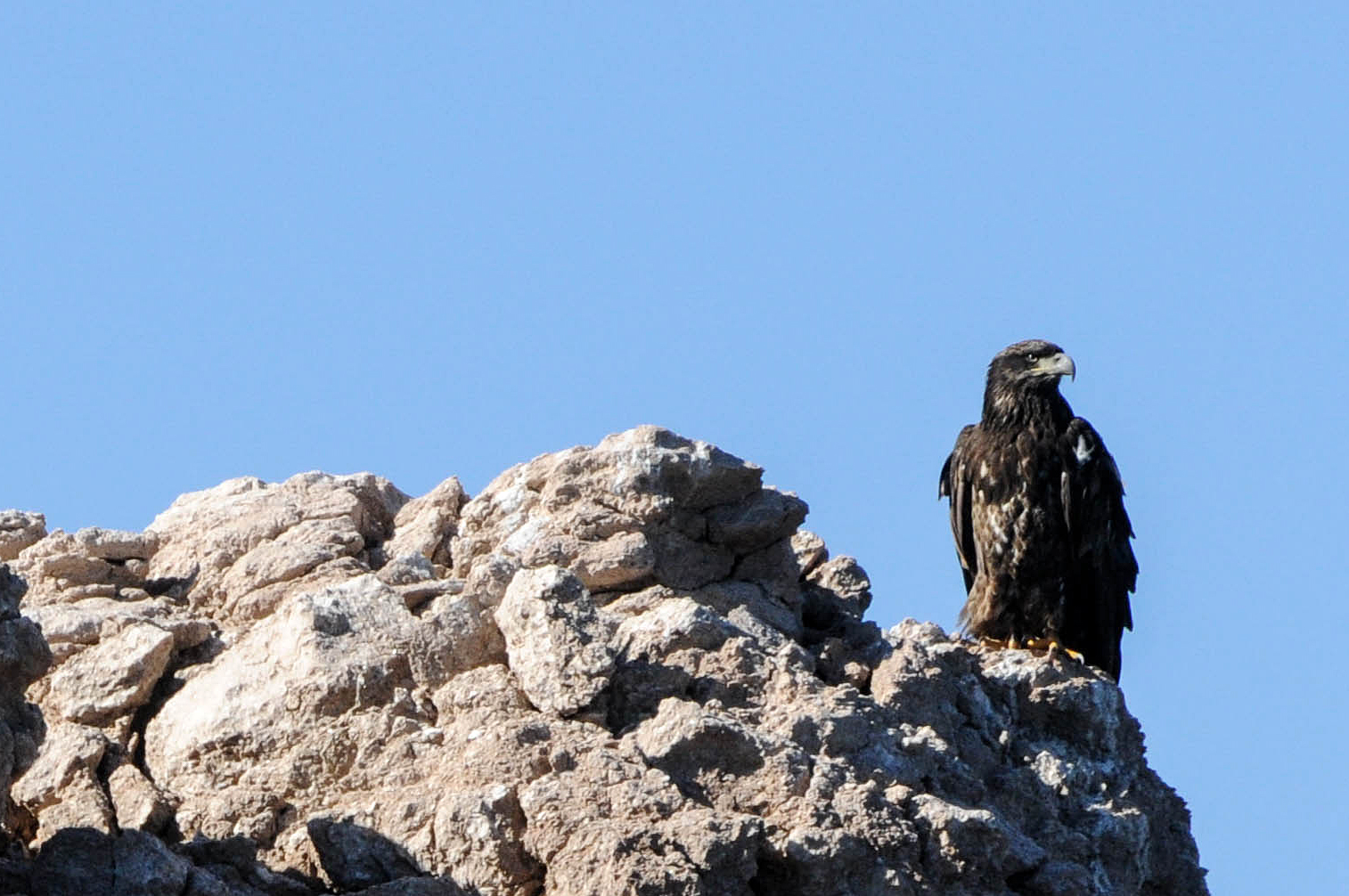 A juvenile bald eagle sits perched on a cliff at Lake Mead National Recreation Area Jan. 12 during the annual midwinter bald eagle survey.