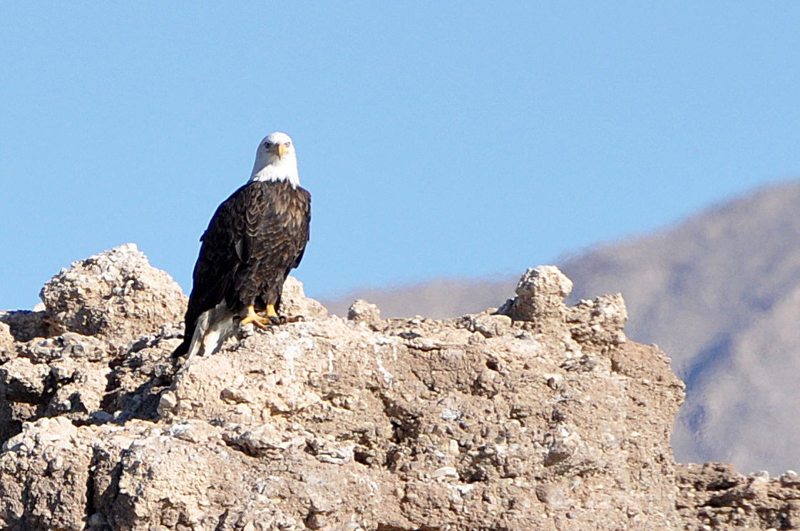 Volunteers and biologists spotted 132 bald eagles at Lake Mead National Recreation Area Jan. 15 during an annual eagle survey. Bald eagles migrate from the north and can traditionally be spotted at Lake Mead NRA from late-November to March.