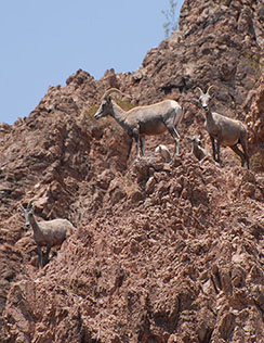 Bighorn-sheep-hiking-page