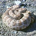 your-safety-rattle-snake