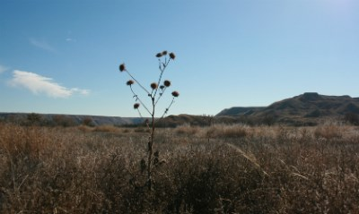 A dry Datura plant stands tall above the sea of grass in a meadow at Lake Meredith.