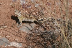 A Horned Lizard blends in with its surroundings.