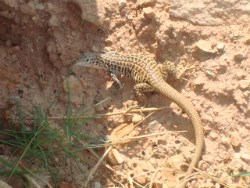 A Whiptail Lizard looking for insects.