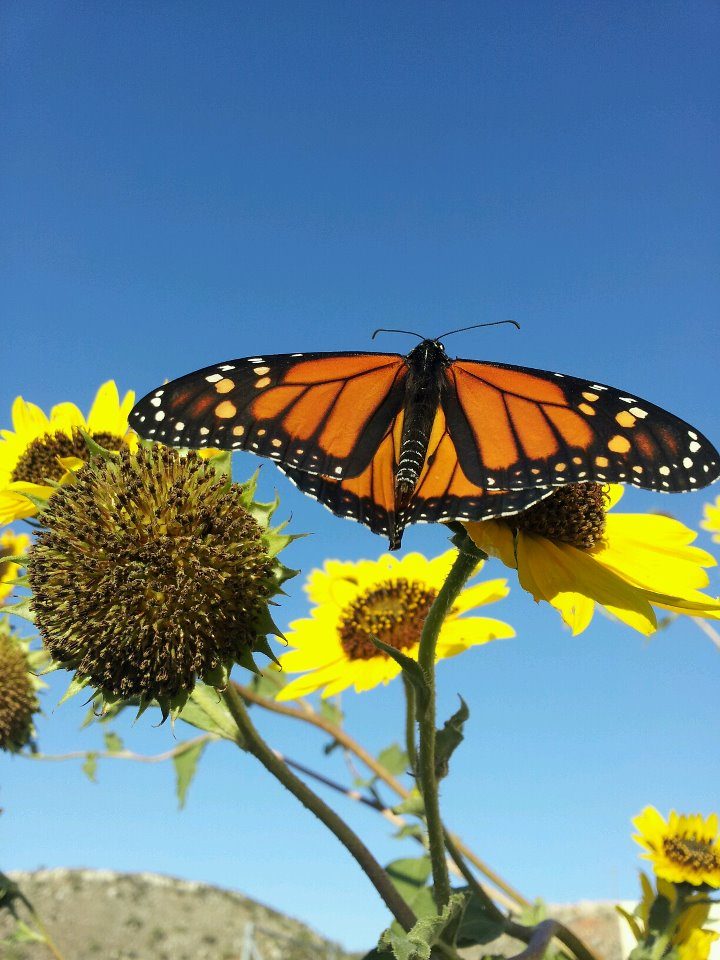 Monarchs Arrive at Alibates Gardens