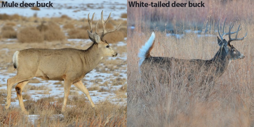 Side view of mule deer and whitetail dear