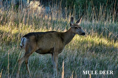 mule deer in a meadow